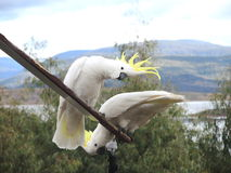 Cacatúas con cresta amarillas blancas Imagen de archivo