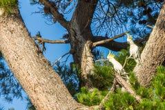 Cacatúas con cresta del azufre alerta en un árbol fotos de archivo libres de regalías