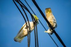 Cacatúas que mastican en el cable eléctrico fotografía de archivo libre de regalías