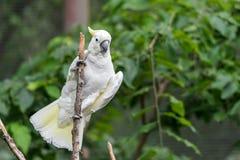 Cacatoès blanc dans l'arbre photographie stock