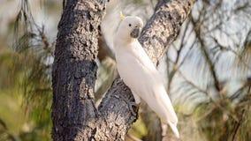 Cacatoès blanc Soufre-crêté australien photographie stock libre de droits