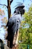 Cacatoès bleu de perroquet Images libres de droits