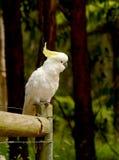 Cacatoès de Cockatiel photos stock