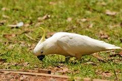 Cacatoès de perroquet Photo libre de droits