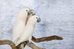 Cacatoès de trois Moluquois sur la perche Photo libre de droits