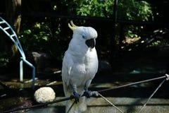 cacatoès Jaune-crêté (perroquet) images libres de droits