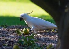 Cacatoès mangeant du fruit au sol image libre de droits
