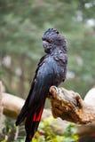 cacatoès noir Rouge-coupé la queue Images stock