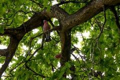 Cacatoès roses se reposant sur un chêne en parc national de Yanchep Photo stock