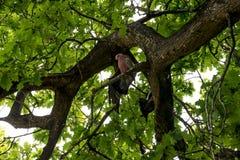 Cacatoès roses se reposant sur un chêne en parc national de Yanchep Photo libre de droits