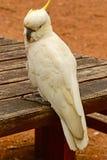 Cacatoès songeur de perroquet image libre de droits