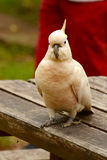 Cacatoès songeur de perroquet photos libres de droits