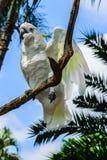 Cacatoès Soufre-crêté blanc se reposant sur la branche à l'arrière-plan de ciel bleu et de paumes photo libre de droits