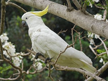cacatua美冠鹦鹉有顶饰galerita硫磺 库存照片