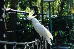 cacatua Amarelo-com crista (papagaio) Imagem de Stock