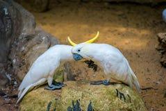 A cacatua bonita ou os papagaios brancos estão na rocha foto de stock royalty free