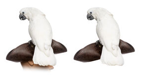 Cacatua branca isolada no branco Fotografia de Stock