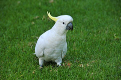 Cacatua com crista do enxofre foto de stock royalty free