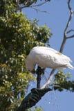 Cacatua com crista do enxofre que bebe da fonte do jardim foto de stock royalty free