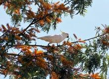 Cacatua crestata dello zolfo in albero Immagini Stock Libere da Diritti