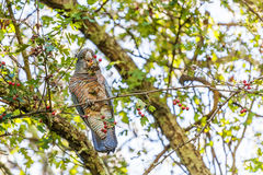 cacatua do Grupo-grupo que come bagas vermelhas - pássaro nativo australiano Imagem de Stock