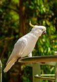 Cacatua do papagaio Fotografia de Stock