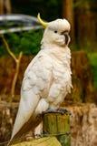 Cacatua do papagaio Fotos de Stock