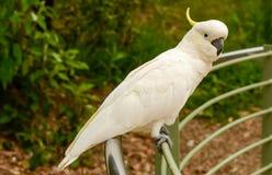 Cacatua do papagaio Imagens de Stock