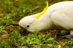 Cacatua do papagaio Foto de Stock
