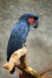 Cacatua escura da palma do papagaio, aterrimus de Probosciger, Nova Guiné Foto de Stock Royalty Free