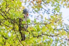 Cacatua fêmea do Grupo-grupo que come bagas vermelhas em uma árvore em Austra Imagens de Stock Royalty Free