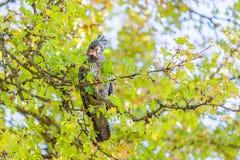 Cacatua fêmea do Grupo-grupo - retrato nativo australiano do pássaro Foto de Stock Royalty Free