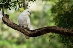 Cacatua galerita - Sulphur-crested Cockatoo sitting on the branch in Australia. Big white and yellow cockatoo with green background Royalty Free Stock Photography