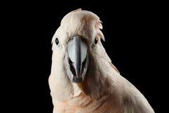 Cacatua molucana engraçada do close up, papagaio salmão-com crista olhares surpreendidos, preto isolado Foto de Stock Royalty Free