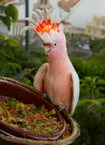 Cacatua parrot Royalty Free Stock Images