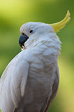 cacatua ptasia ostrość Zdjęcia Stock