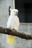 Cacatua sanguinea,Little Corella Stock Images