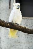 Cacatua sanguinea,Little Corella Royalty Free Stock Photo