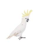cacatua Zolfo-crestata, isolata su bianco fotografia stock