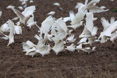 Cacatue sul raccolto del grano Fotografia Stock Libera da Diritti