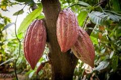 Cacau do Theobroma da árvore de cacau Vagens orgânicas do fruto do cacau na natureza foto de stock royalty free