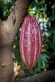 Cacau do Theobroma da árvore de cacau Vagens orgânicas do fruto do cacau na natureza Foto de Stock