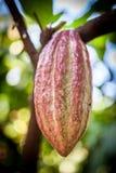 Cacau do Theobroma da árvore de cacau Vagens orgânicas do fruto do cacau na natureza Imagens de Stock Royalty Free