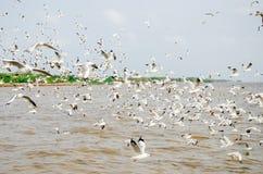 Cacca di colpo, Tailandia: Uno stormo di volata dei gabbiani. Immagine Stock