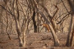 Cacce della tigre Fotografie Stock