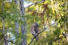 Cacce messe rosse di lineatus di Hawk Buteo per la preda Fotografia Stock