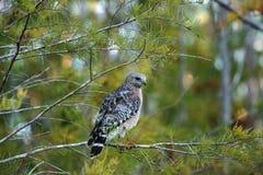 Cacce messe rosse di lineatus di Hawk Buteo per la preda Fotografia Stock Libera da Diritti