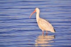 Caccia bianca dell'ibis Fotografia Stock Libera da Diritti