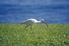 Caccia bianca dell'ibis nell'erba Fotografie Stock Libere da Diritti