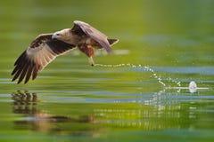 Caccia brahminy acerba del cervo volante Fotografia Stock Libera da Diritti
